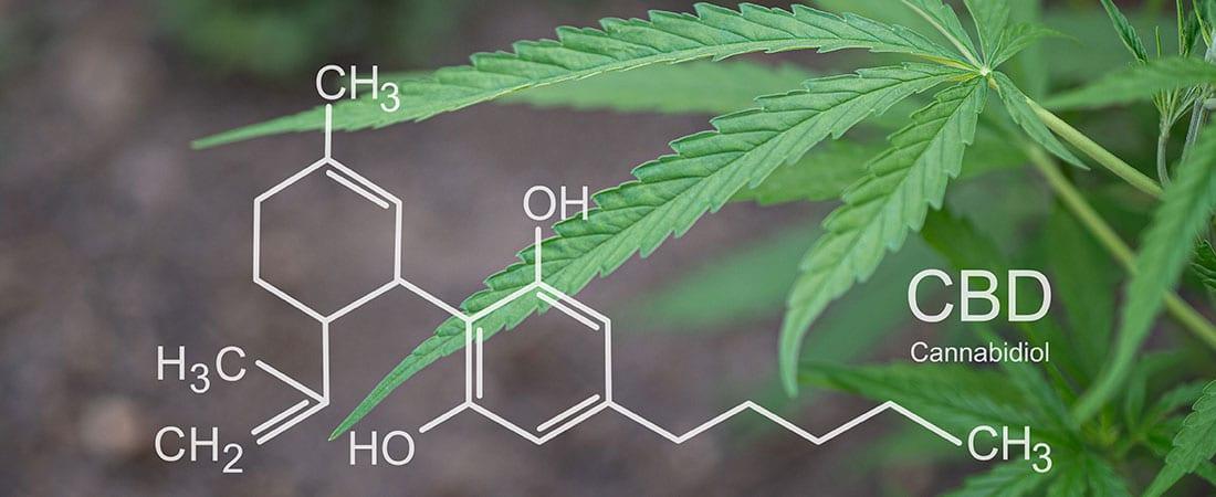 CBD Pflanze