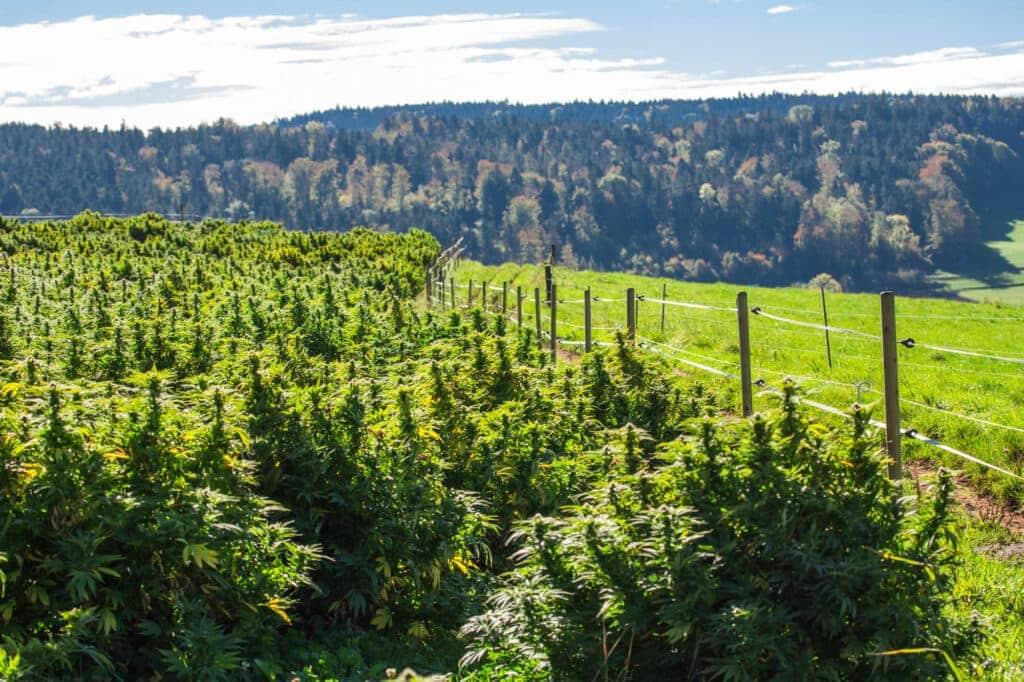 CBD Pflanzen Bodenbeschaffenheit